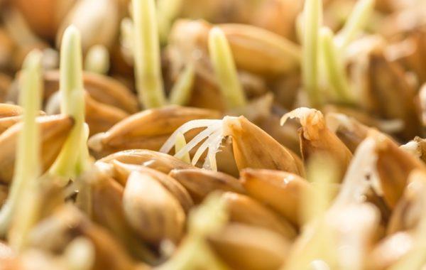 Krem z kiełków pszenicy